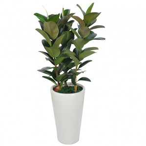 고무나무606