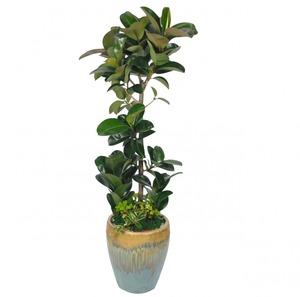 고무나무10