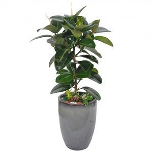 고무나무75